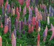 Lupine Russell Lupinus Polyphyllus Russell Seeds