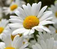 Daisy Shasta Chrysanthemum Maximum Seeds
