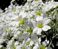 Snow in Summer Cerastium Tomentosum Seeds