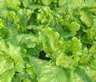 Lettuce Looseleaf Black Seeded Simpson Organic Lactuca Sativa Seeds