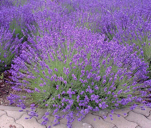 english lavender lavandula angustifolia seeds. Black Bedroom Furniture Sets. Home Design Ideas