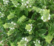 Basil Sweet Genovese Organic Ocimum Basilicum Genovese Seeds