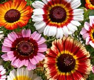Daisy Painted Chrysanthemum Carinatum Seeds