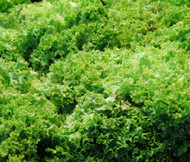 Lettuce Looseleaf Green Ice Lactuca Sativa Seeds