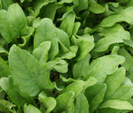 Spinach Hybrid 7 Spinacia Oleracea Seeds