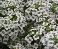 Alyssum White Carpet of Snow Lobularia Maritima Seeds