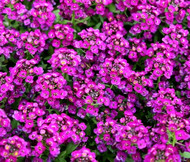 Alyssum Purple Royal Carpet Lobularia Maritima Seeds
