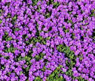 Rock Cress Purple Aubrieta Deltoidea Seeds