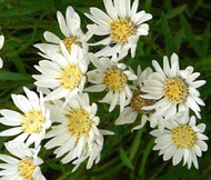 Aster White Upland Aster Ptarmicoides Seeds