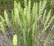 Prairie Junegrass Koeleria Cristata Seeds
