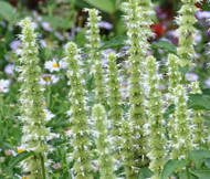 Agastache Giant Hyssop White Agastache Mexicana Seeds