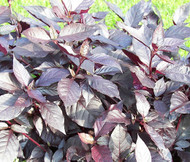 Alternanthera Purple Knight Alternanthera Brasiliana Seeds