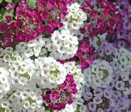 Alyssum Paletta Mix Lobularia Maritima Seeds