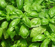 Basil Sweet Ocimum Basilicum Seeds