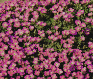 Aubrieta Rock Cress Whitewell Gem Aubrieta Hybrida Seeds