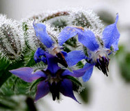 Borage Organic Borago Officinalis Seeds