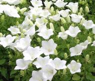 Bellflower Tussock White Campanula Carpatica Seeds
