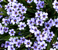 Blue Eyed Grass Sisyrinchium Bellum Seeds