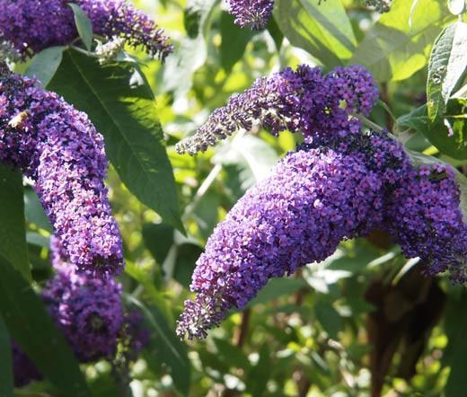 Butterfly Bush Violet Buddleia Davidii Seeds