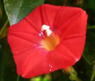Cardinal Climber Ipomoea x Multifida Seeds