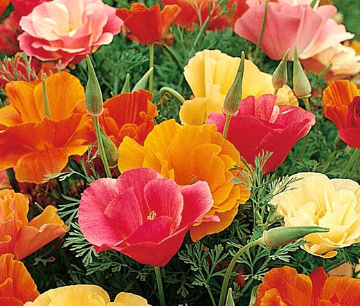 California poppy mission bell eschscholzia californica seeds home annual flower seeds california poppy mission bell eschscholzia californica seeds image 1 mightylinksfo