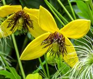 Clematis Golden Clematis Tangutica Aztek Seeds
