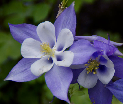 Columbine Floral And Gifts: Columbine Blue Star Aquilegia Caerulea Seeds