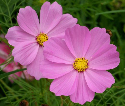 Cosmos sonata pink dwarf cosmos bipinnatus seeds mightylinksfo