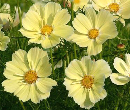 Cosmos sonata yellow cosmos bipinnatus seeds home annual flower seeds cosmos sonata yellow cosmos bipinnatus seeds image 1 mightylinksfo