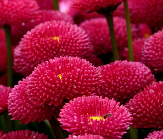 english daisy red bellis perennis super enorma seeds