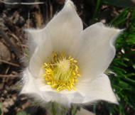Pasque Flower White Pulsatilla Vulgaris Alba Seeds