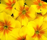 Primrose English Accord Yellow Primula Vulgaris Seeds