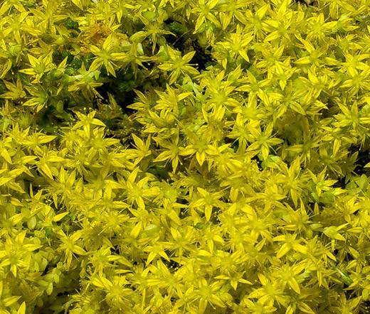 Sedum yellow stonecrop sedum ellacombianum seeds home perennial flower seeds sedum yellow stonecrop sedum ellacombianum seeds image 1 mightylinksfo
