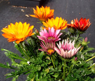 Gazania Mix Gazania Splenden Seeds