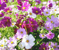 Cosmos Sensation Mix Cosmos Bipinnatus Seeds