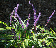 Monkey Grass Liriope Muscari Seeds