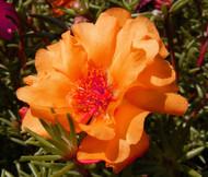 Moss Rose Orange Portulaca Grandiflora Seeds
