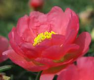 Moss Rose Red Portulaca Grandiflora Seeds