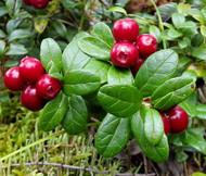 Lingonberry Vaccinium Vitis-idaea Seeds