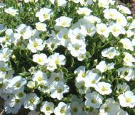 Cup Flower White Robe Nierembergia Hippomanica Seeds
