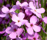 Dames Rocket Hesperis Matronalis Seeds