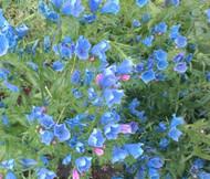 Viper's Bugloss Blue Bedder Dwarf Echium Plantagineum Seeds
