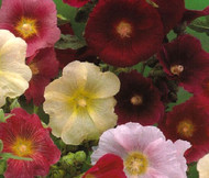 Hollyhock Indian Spring Single Mix Alcea Rosea Seeds