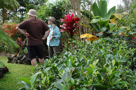 Big Island Tea Farm