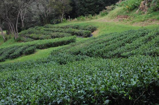 Mauna Kea Tea Farm