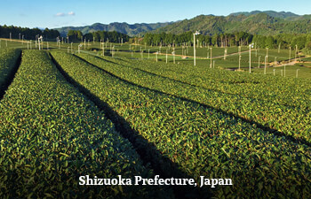 Organic Tea from Shizuoka Prefecture, Japan