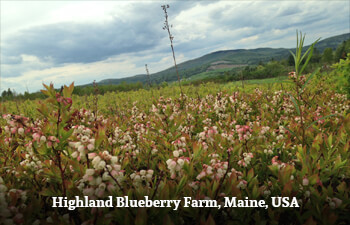 Highland Blueberry Farm, Maine, USA
