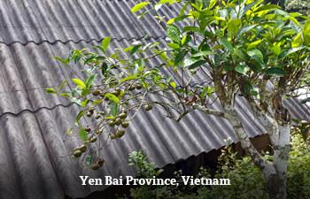 Organic Tea from Yen Bai, Vietnam