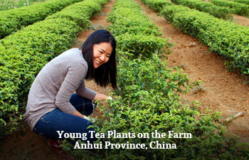 Organic Tea from Anhui Province, China