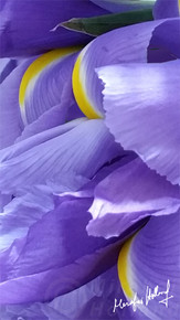 IRISES FLIGHT 14 x 8